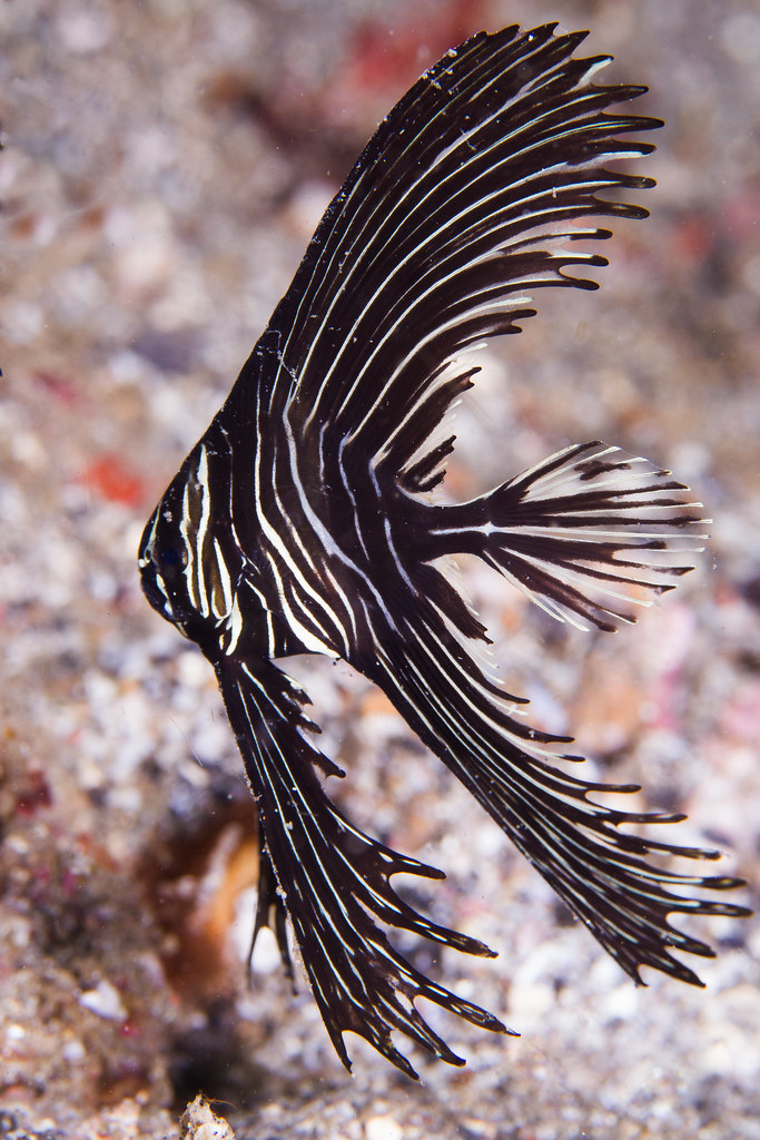 Zebra batfish todd aki flickr for Todd s tropical fish