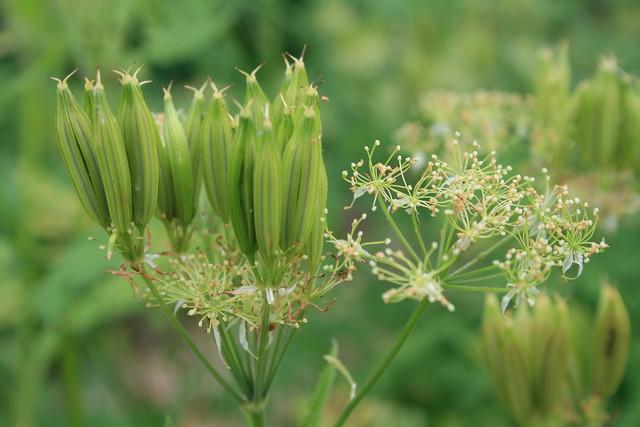 Gardener's Tax: Sweet cicely seedpods