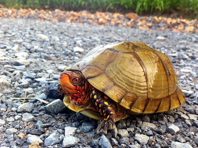 three toed box turtle flickr   photo sharing
