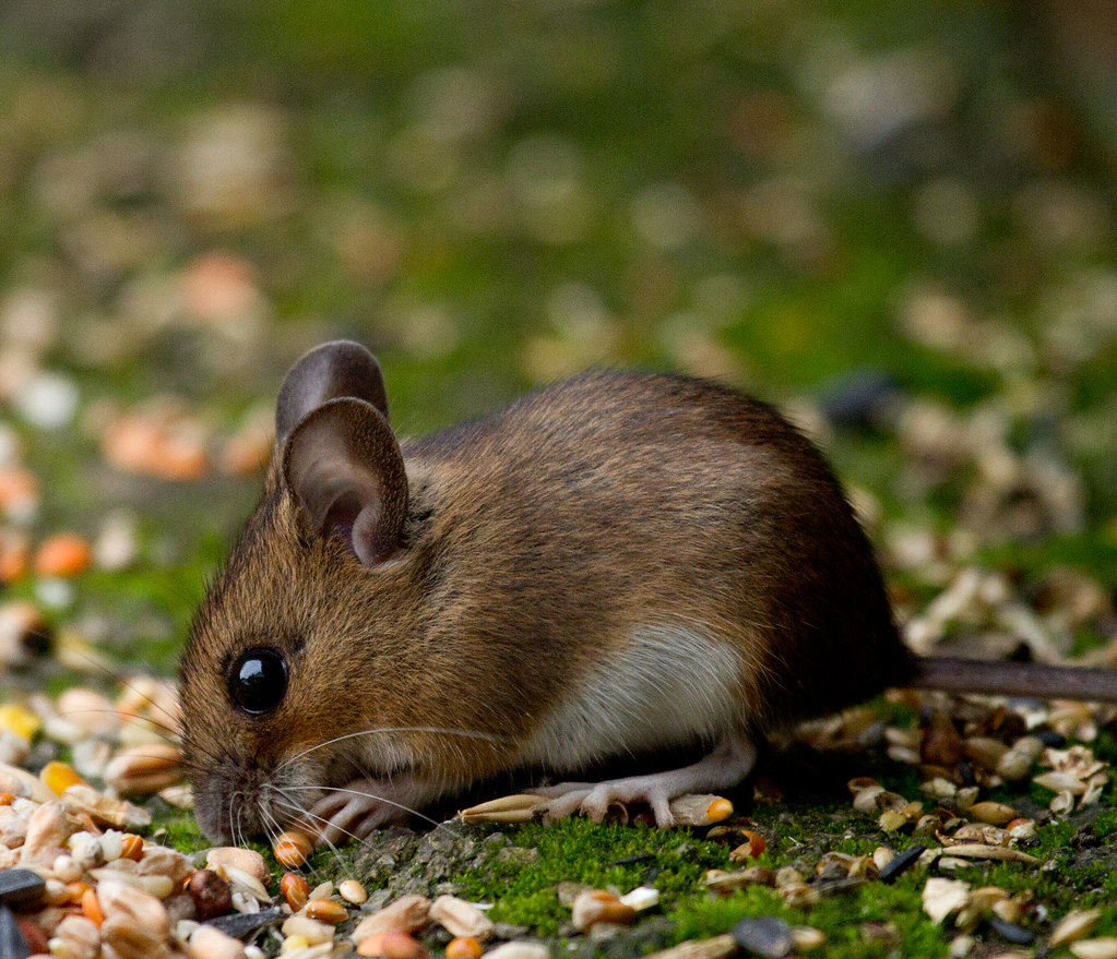 Field mouse animal - photo#5