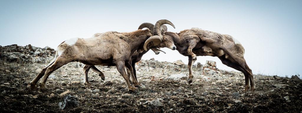 Ram Big Horn >> Big-Horn Sheep Butting Heads (In Vignette) | THREE RAMS BUTT… | Flickr