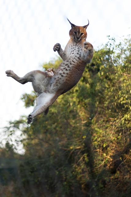 black serval