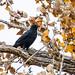 november's crow