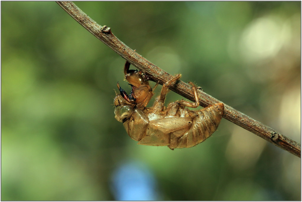 cicada shell | michael doe (Project Maratus) | Flickr