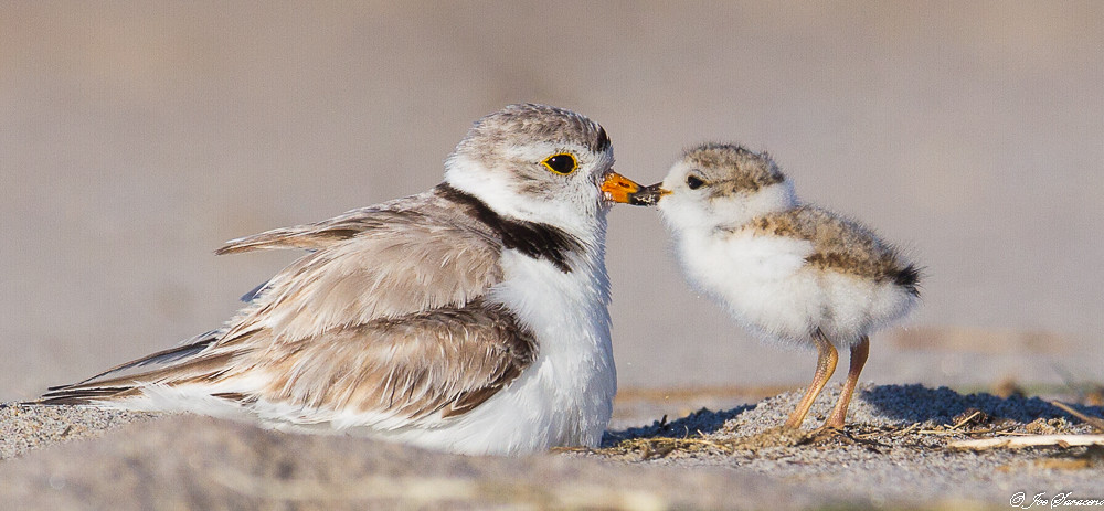 Baby piping plover - photo#19