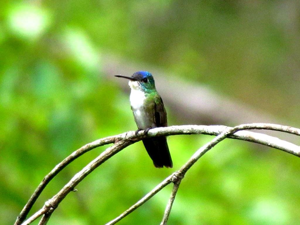 Azure Crowned Hummingbird Azure-crowned