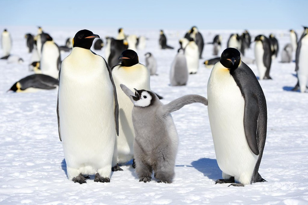 emperor penguins christopher michel flickr