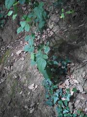 Grup 16 - Alejandro - Rubus ulmifolius - Esbarzer 1