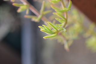 DSC_4374 Drosanthemum marinum  ドロサンテマム マリナム