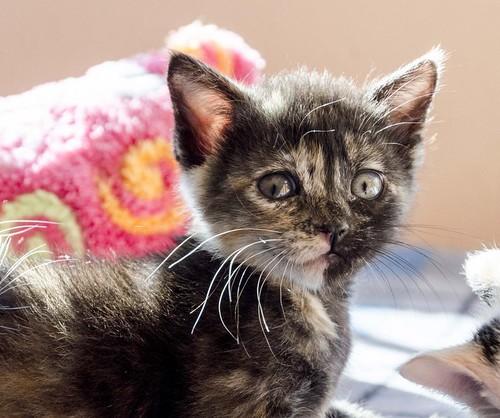 Eclipse, gatita carey dulcísima de cara bicolor espectacular nacida en Octubre´16, en adopción. Valencia. ADOPTADA. 31225949302_547fc00f1a