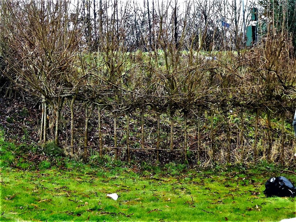 Elaborately laid hedge