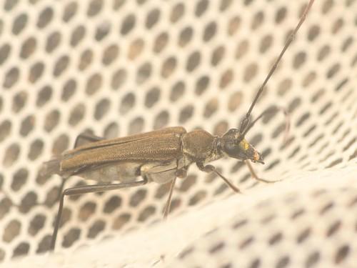 アオバホソハナカミキリ(大陸基亜種)
