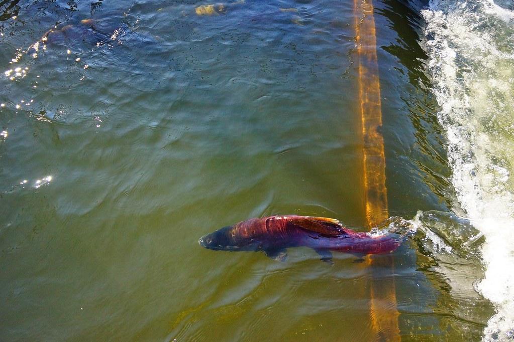 American River Nimbus Fish Hatchery 112513 12 Flickr