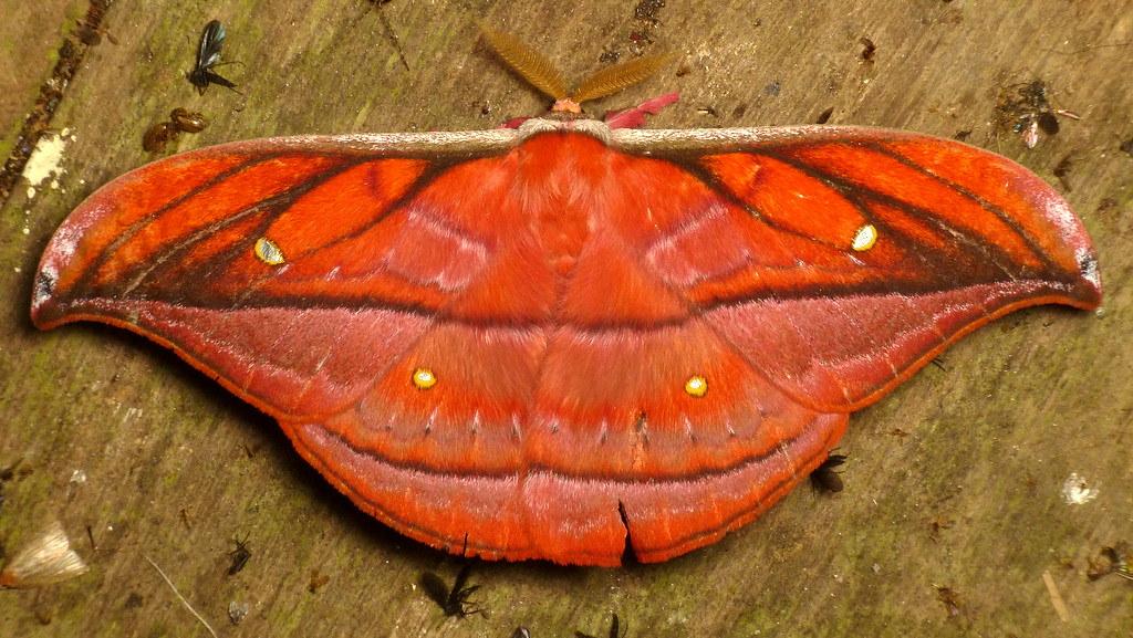 Saturniid Moth, Copaxa decrescens or rufinans? | Andreas Kay | Flickr