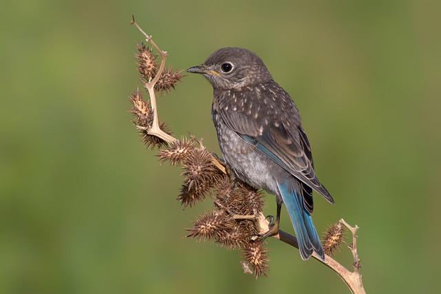 Eastern Bluebird Baby Flickr Photo Sharing