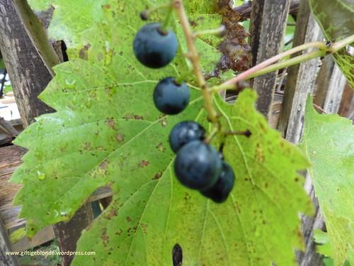 Rest Weintrauben