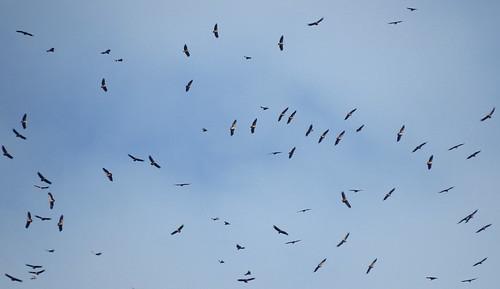 Griffon Vulture Gyps fulvus Barao San Joao, Algarve October 2016
