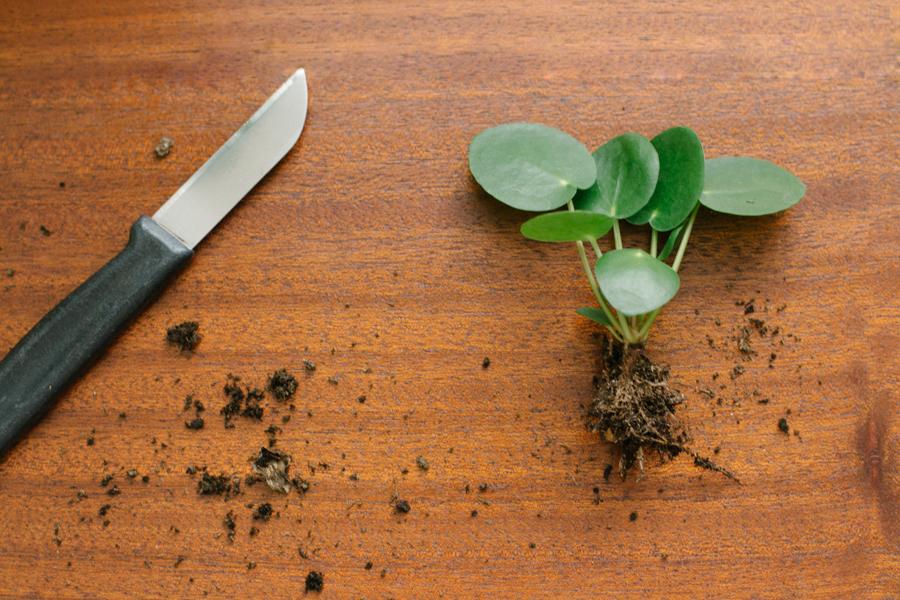 Pannenkoekplant stekken