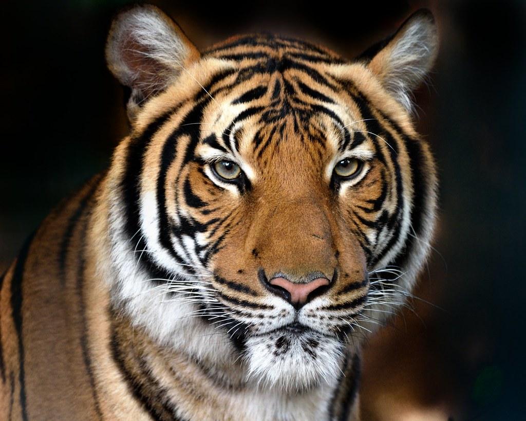 La bellezza della natura tigre del bengala la for Disegni delle tigri