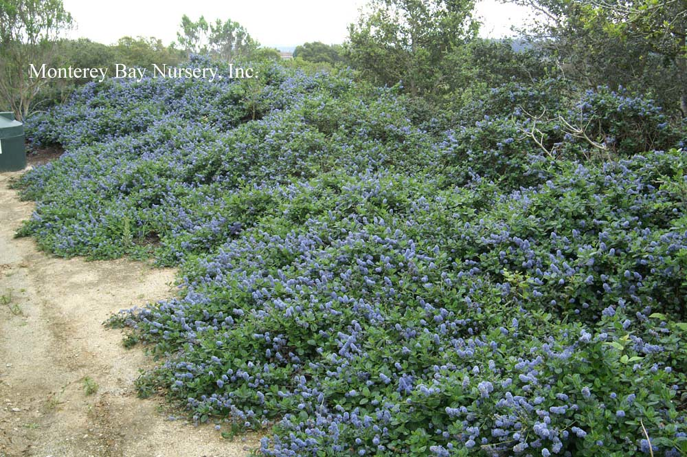 Ceanothus griseus Yankee Point | KONICA MINOLTA DIGITAL ...
