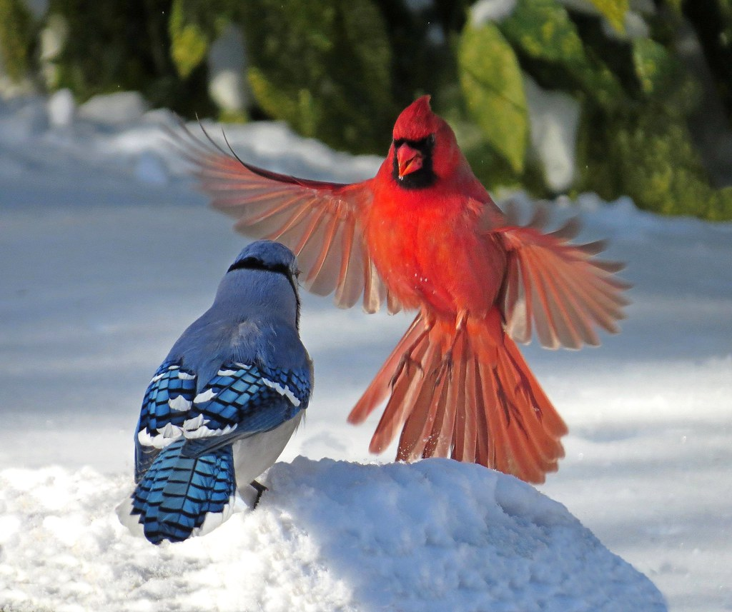 Cardinal and Blue Jay Confrontation | This shot was taken ...