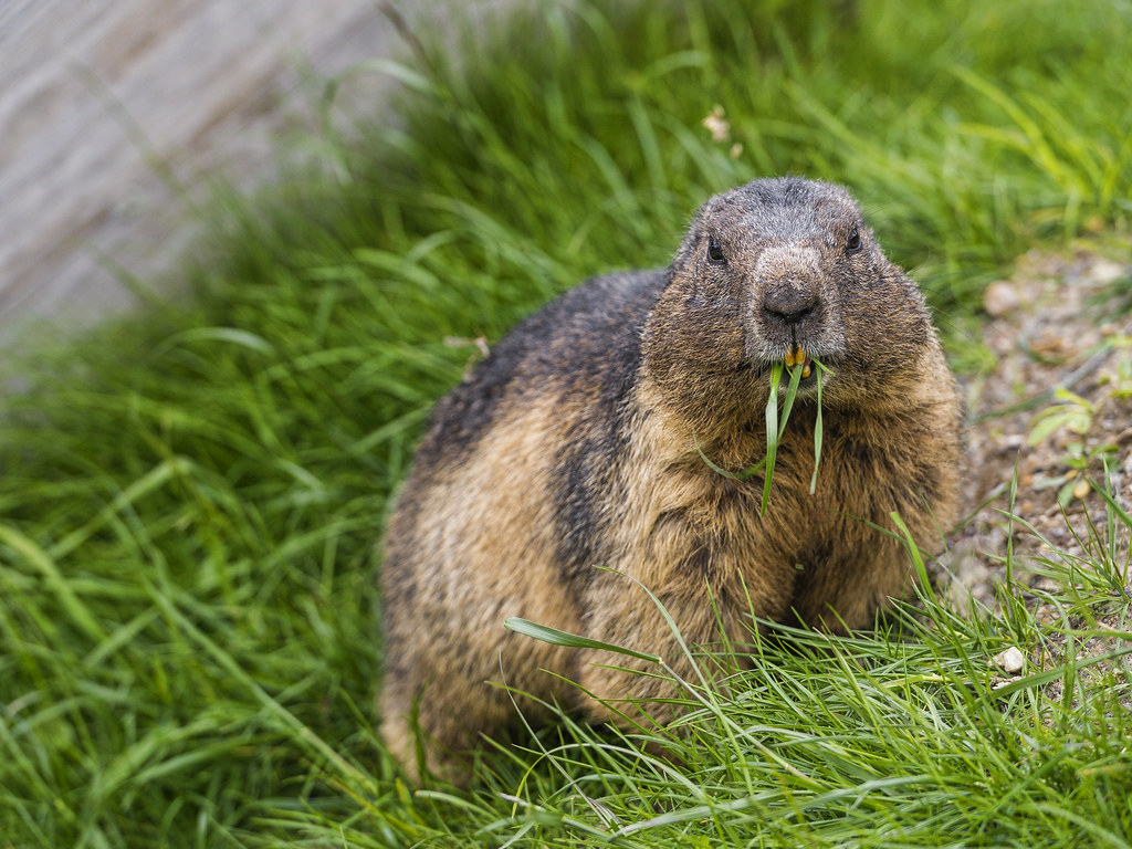 Vancouver Island Marmot Images