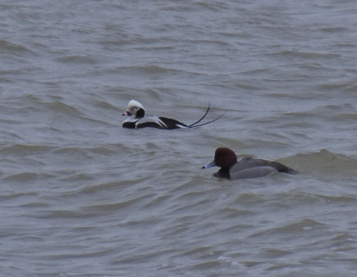 Male Long-tailed Duck with redhead