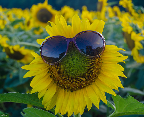 Smiling Sunflower Images Smiling Sunflower With