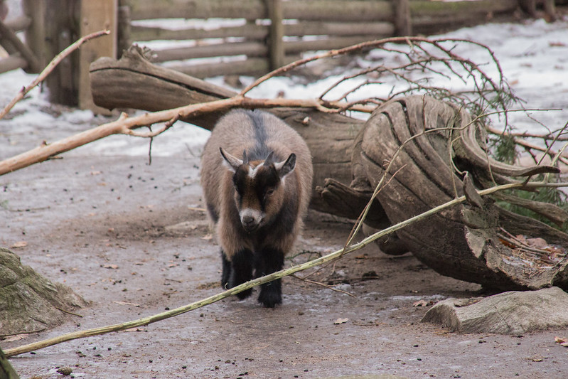 Goat at Skansen