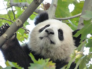 Oso Panda en Chengdú (China)