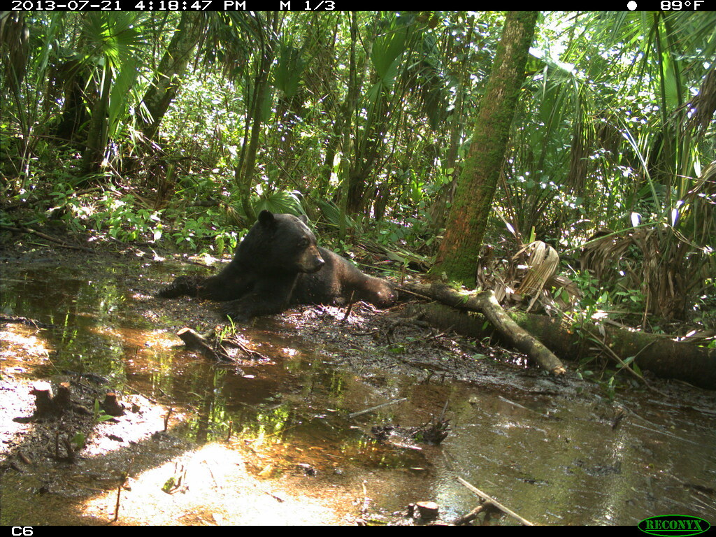 Bear resting 2 fwc game cam photo florida fish and for Florida fish and wildlife jobs