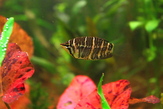 Шоколадный гурами (Sphaerichthys osphromenoides), фото фотография рыбы