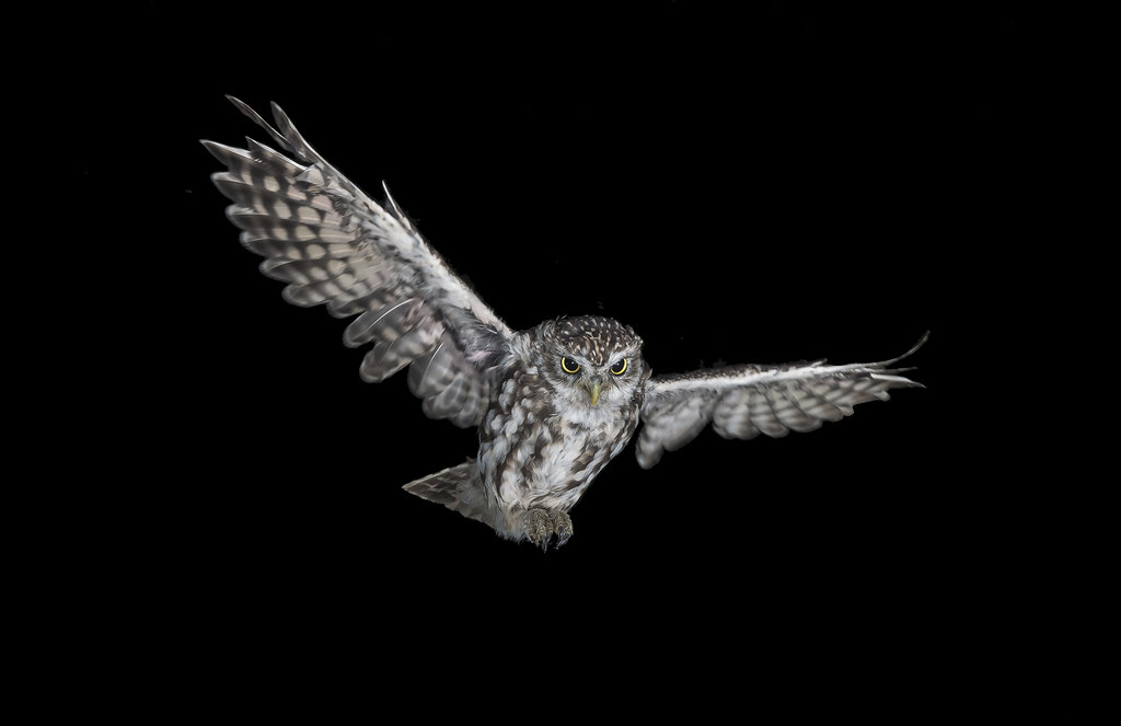 Little Owl (Athene noctua) | Little Owl in ...