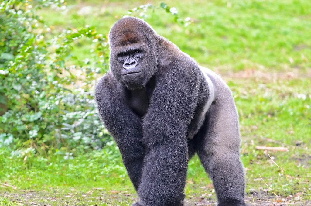 Gorilla mad - photo#9