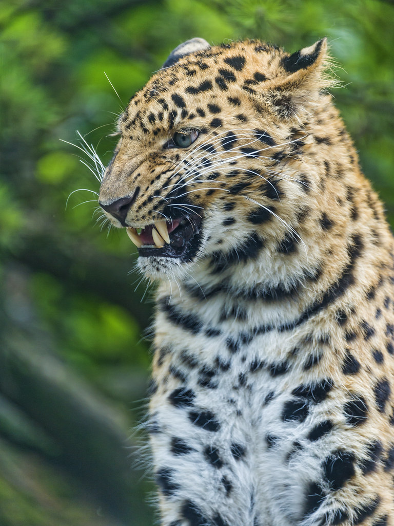 Leopardess Looking Angry The Female Amur Leopard With A