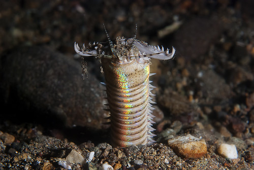 Rise of the bobbitworm! (Eunice aphroditois)