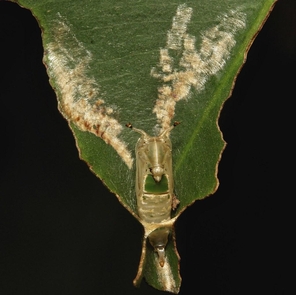 Hooktip Moth Pupa  (Tridrepana argentistriga, Drepaninae, Drepanidae)