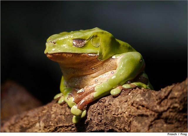 gr ner frosch green frog flickr photo sharing. Black Bedroom Furniture Sets. Home Design Ideas