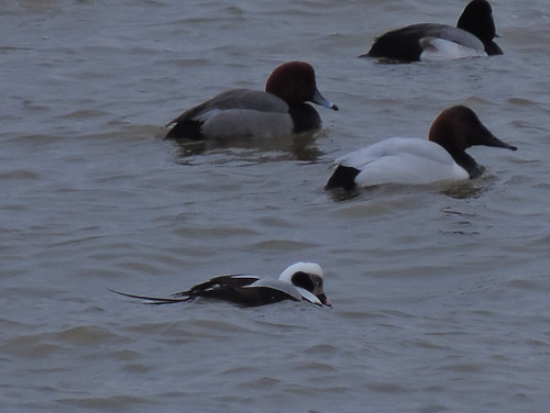 Male Long-tailed Duck with Canvasback, Redhead and scaup
