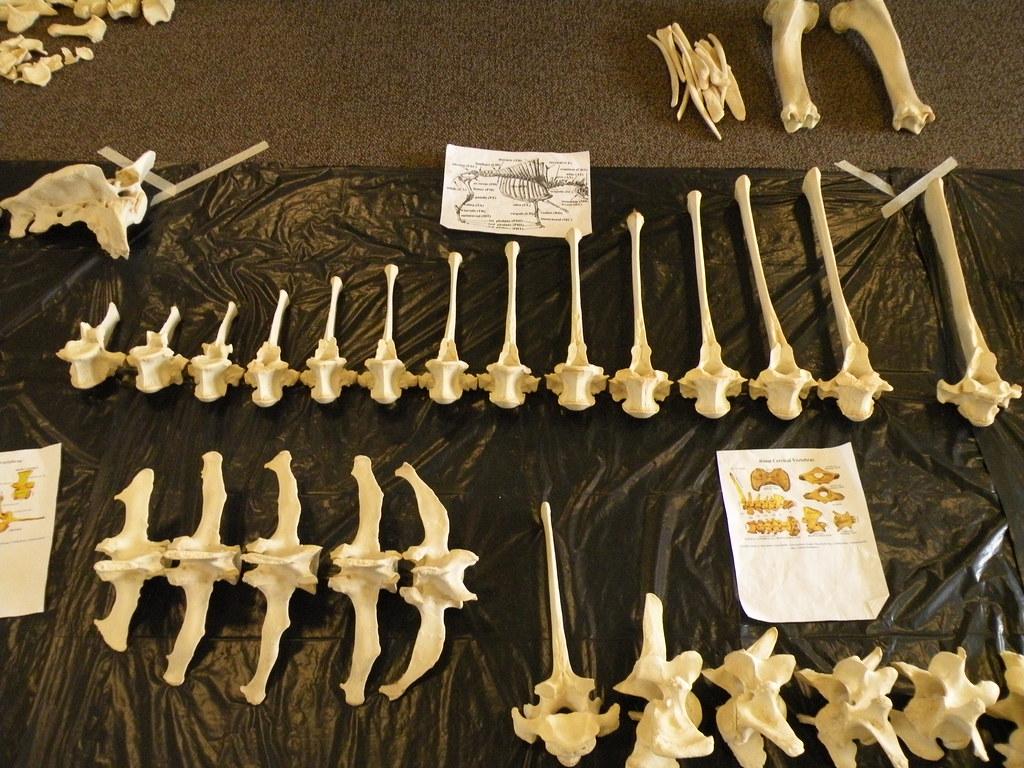 Bison Skeleton Reassembly | Bison skeleton reassembled and m… | Flickr