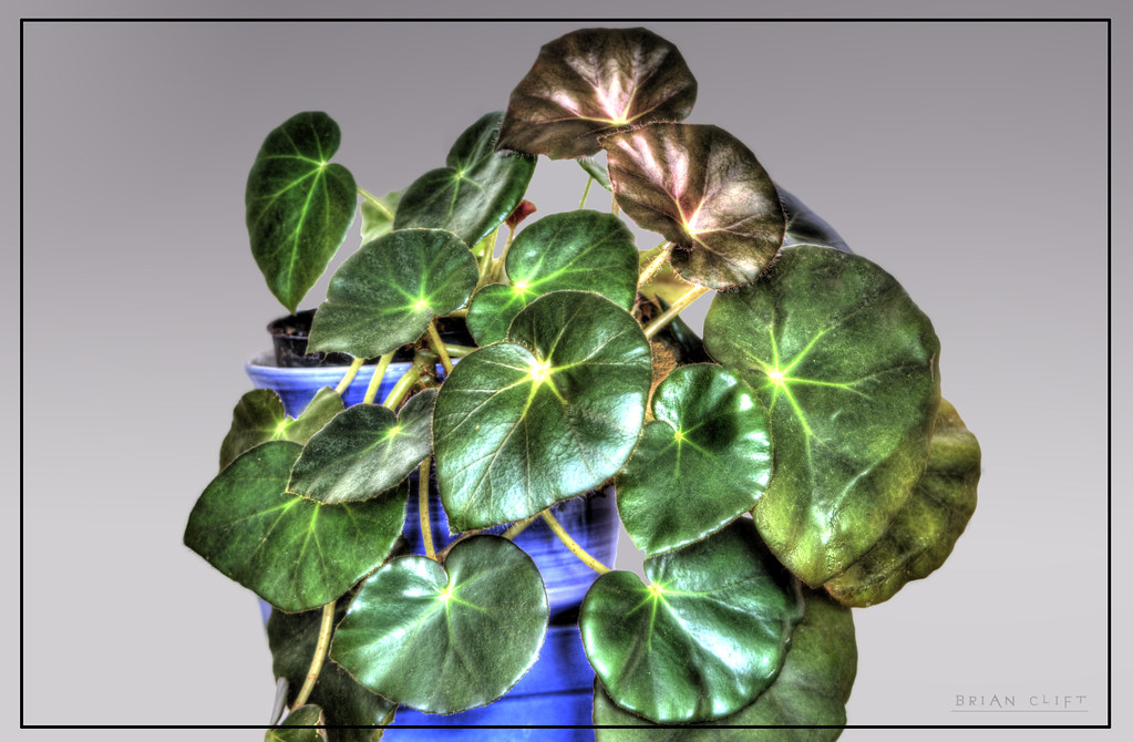 Begonia Erythrophylla | Begonia Erythrophylla a houseplant ...