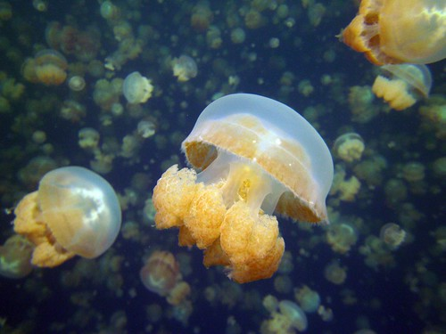 Xray Jelly Palau | by amanderson2