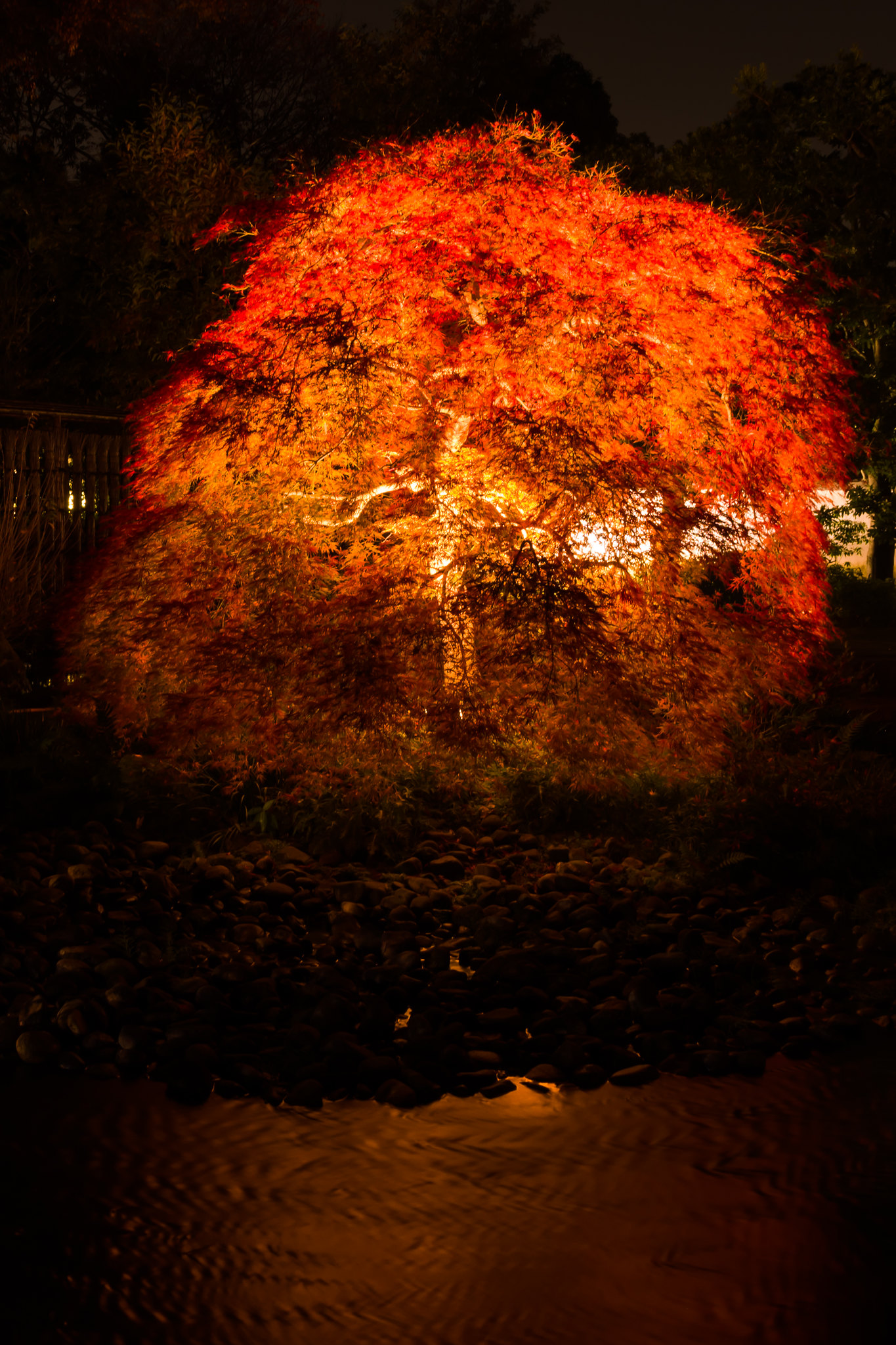 紅に光る樹