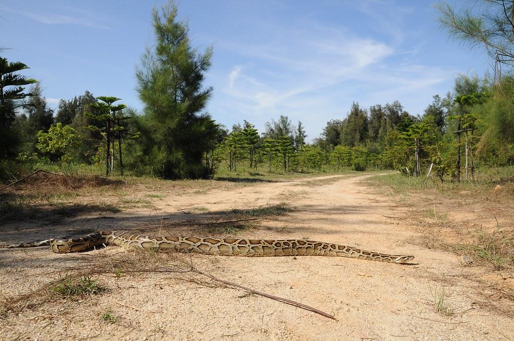橫越林道的金門緬甸蟒(林務局提供)