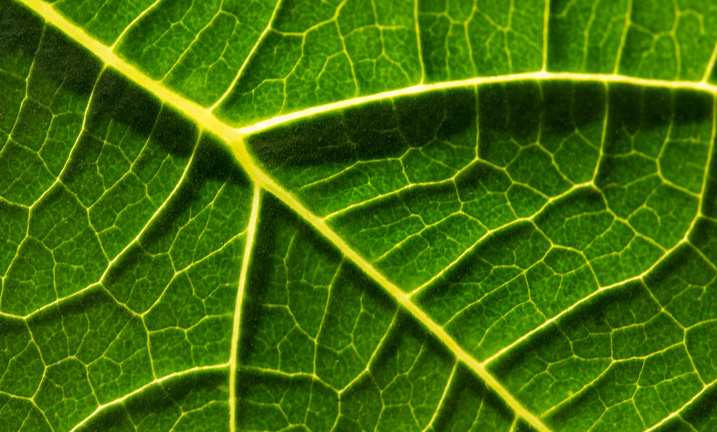 Leaf texture | Photo for A-level photography project: 'Macro ...: https://www.flickr.com/photos/63368475@N08/10858063324