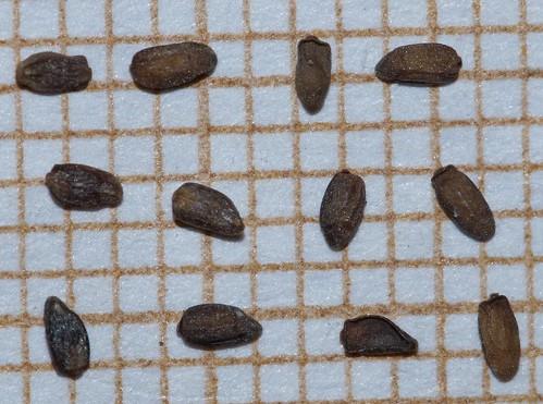 Epilobium canum - fuchsia de Californie 30236441041_1925d5404e
