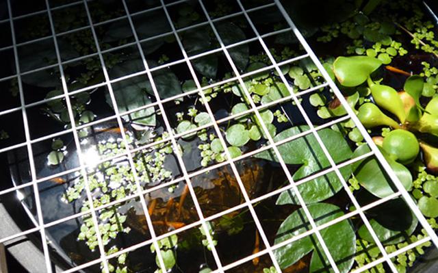 ベランダ ビオトープ 睡蓮鉢 鳥対策 網