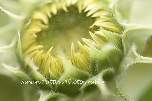 wsun_flower_bud