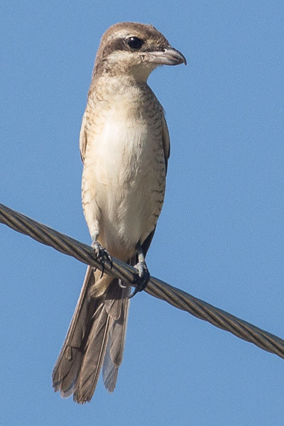 juvenile Brown Shrike
