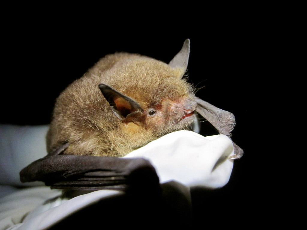 Gray Bat (Myotis grisescens)Fact Sheet. PDF version. Photo by Adam Mann, Environmental Solutions and Innovations. The gray bat is an endangered species.